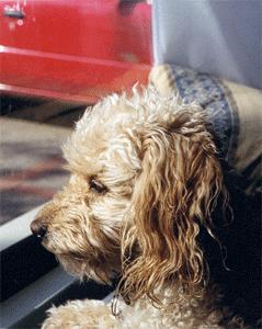 hund-bil